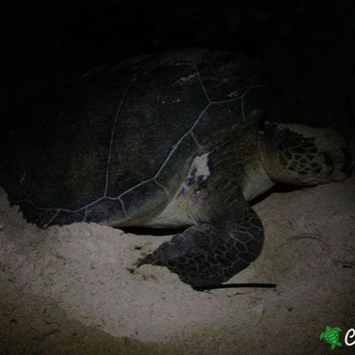 green sea turtle 04 07 2015 3
