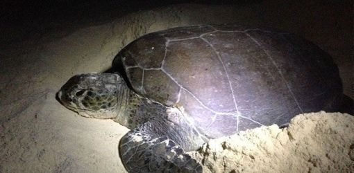 green sea turtle 20 06 2015