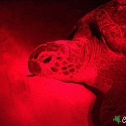 green sea turtle 27 06 2016 3