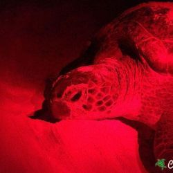 green sea turtle 27 06 2016 4