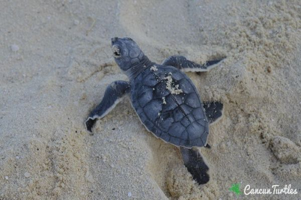 green sea turtle hatchling 16 08 2016
