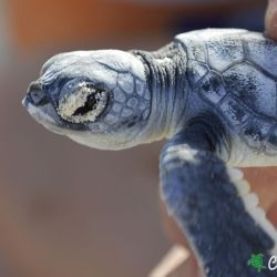 green sea turtle hatchling 16 08 2016 2