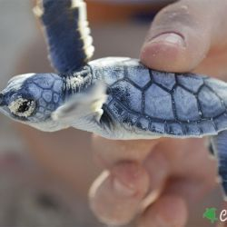 green sea turtle hatchling 16 08 2016 3