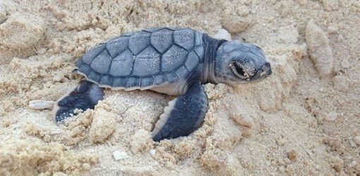 green sea turtle hatchling 28 07 2015