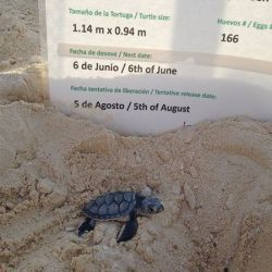 green sea turtle hatchling 28 07 2015 2