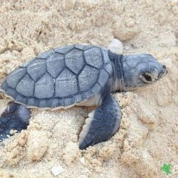 green sea turtle hatchling 28 07 2015 3