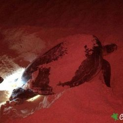 green sea turtle laying eggs 28 05 2015 3